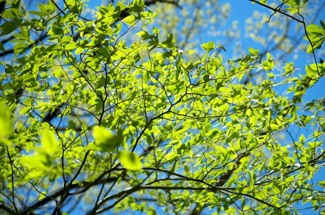 日本精油 ミズメザクラ(水目桜)